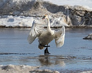 Trumpeter Swan on Thin Ice