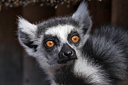 Ring Tailed Lemur Face Shot