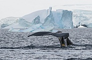 Humpback whale off Antarctica (wild)