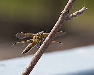 Four-Spotted Chaser or Skimmer Dragonfly