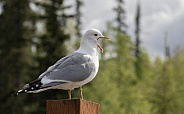 Common Mew Gull