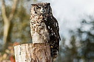 African Spotted Eagle Owl