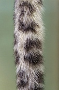 Snow Leopard Tail