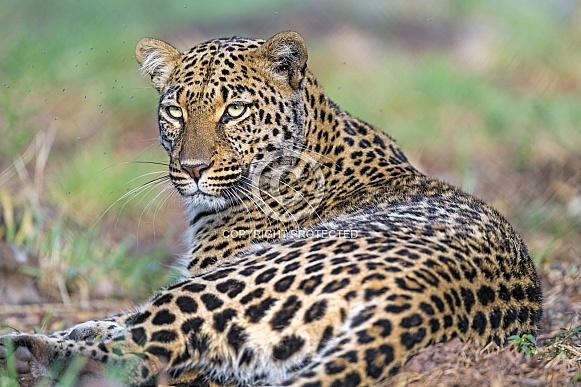 Leopard Laying Down