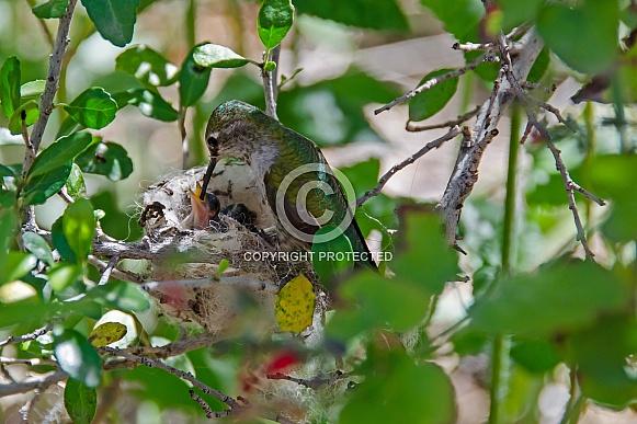 Anna's Hummingbird feeding her Newborn