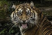 Sumatran Tiger Flehman Response