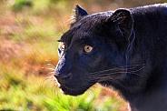 Leopard - Black Leopard Portrait