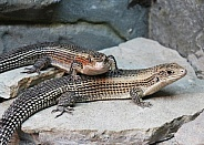 Sudan Plated Lizards