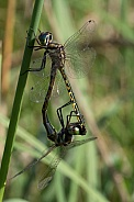 Two dragonflies (wild)