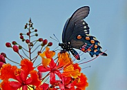 Butterfly - Pipevine Swallowtail
