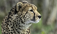 Cheetah Side Profile Close Up