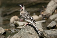 Red Wattlebird (wild).