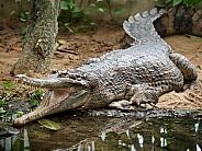 Crocoddile