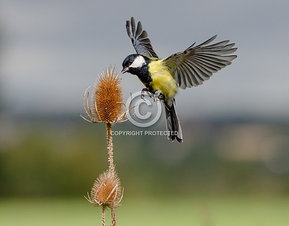 A Great tit in flight