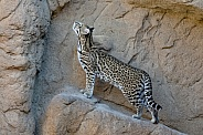 Ocelot (Female)