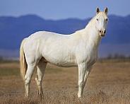 White Western Horse