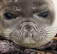 Southern Elephant Seal Pup - Falkland Islands