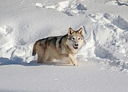 Wolf in heavy snow