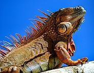Iguana, in the Sky
