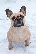 Fawn French Bulldog Sitting