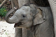 Indian Elephant Calf