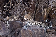 Leopard (Female)