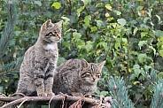 Scottish Wild Cat Siblings