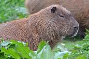 Capybara amongst the shrubs at Chester Zooo