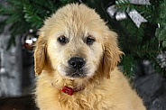 Golden Retriever Puppy Head Shot Close Up