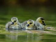 Canada Goose Chicks/Goslings