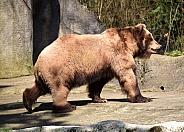 Kamtschatka Brown Bear