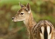 Fallow Deer Fawn Portrait