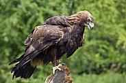Golden Eagle - Scottish Highlands