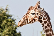 Reticulated Giraffe Side Profile Face Shot