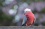 Galah against purple