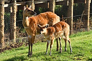 Eastern Bongo Mother and Calf