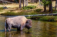 Bison crossing the Nez Perce Creek