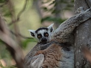 Baby Ring-tailed Lemur (Lemur Catta)