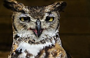 Great horned owl, face shot