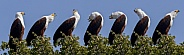 Calling sequence - African Fish Eagle