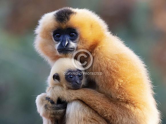 Yellow-cheeked Gibbon