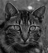 Domestic cat. Black and White