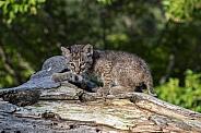 Bobcat Kitten at Play