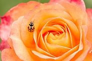 Transverse ladybird on rose.