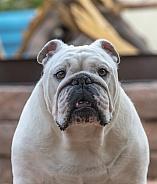 Head shot of an adult bulldog