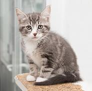 Domestic Shorthair Kitten