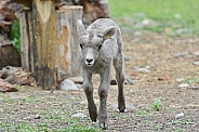 Big Horn Sheep, lamb