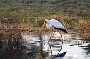 Yellow-billed Stork - Okavango Delta