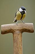 Great tit Bird