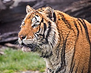Portrait of Tiger in the Rain